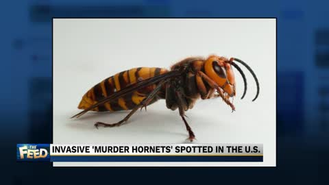 The Feed: Murder Hornets invade the U.S.